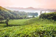 Green tea garden in sunset,China south Stock Photo