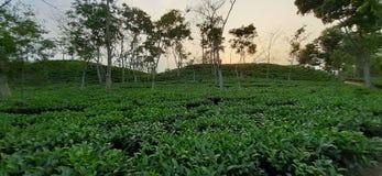 Green tea garden.nice and beautiful tea garden.green leaf.tea Garden Bangladesh. Sylhet tea Garden. royalty free stock images