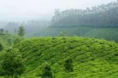 Green tea gardens in Munnar highland,Kerala,Western Ghats,India Royalty Free Stock Image