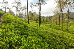 Green tea gardens with some trees, lit by morning sunlight. Kand. Y, Sri Lanka royalty free stock photos