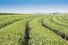 Green tea gardens Stock Image