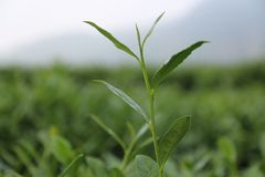 Green tea. In anxi,fujian,china.it can be used as a background Stock Photos