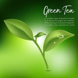 Green tea,Green tea leaf. Vector illustration Stock Photo