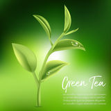 Green tea,Green tea leaf. Vector illustration Stock Photography
