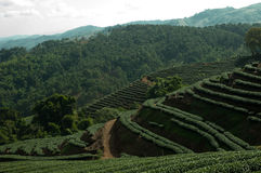 Green Tea hill. Hill with green tea field in Thailand Royalty Free Stock Photos