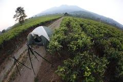 Green tea. On the kemuning, karanganyar, central java, tea field Royalty Free Stock Images