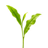 Green tea leaf Stock Photography