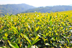 Green tea leaf. Royalty Free Stock Image