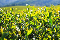 Green tea leaf. Stock Images