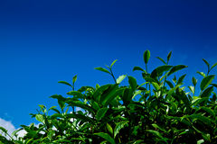Green tea leaf with blue sky Stock Images