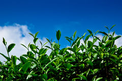 Green tea leaf with blue sky Royalty Free Stock Image