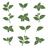 Green tea leaf collection set. Vector Royalty Free Stock Image