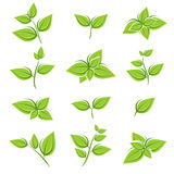 Green tea leaf collection set. Vector Stock Images