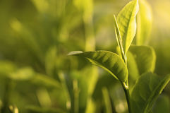 Green tea leaf early morning Stock Images