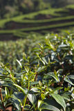 Green Tea leaf in the field. Top of the tea leaf in the hill farm from the north of Thailand Stock Photos