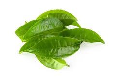 Green tea leaf isolated over white background. Green tea leaf isolated on white background aromatic basil basilicum beverage branch bud closeup drink flora food stock image