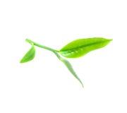 Green tea leaf Stock Photo