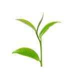 Green tea leaf Royalty Free Stock Image