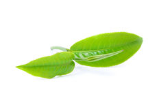 Green tea leaf royalty free stock photos