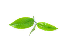 Green tea leaf. Isolated on white background Royalty Free Stock Image