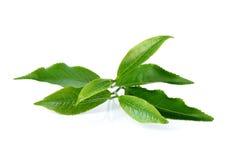 Green tea leaf Stock Images