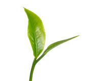 Green tea leaf isolated on white background Stock Image