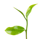 Green tea leaf isolated on the white background Royalty Free Stock Image