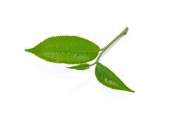 Green tea leaf isolated on white background. Stock Image