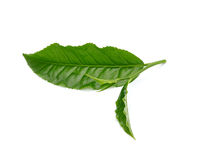 Green tea leaf isolated on white background Stock Images