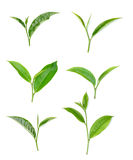 Green tea leaf isolated on white background. Fresh Green tea leaf isolated on white background stock photos