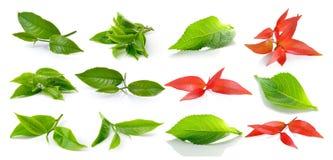Green tea leaf and leaf Royalty Free Stock Image
