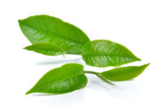 Green tea leaf  on white background Stock Photography