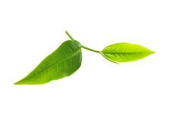 Green tea leaf on white background. Stock Photography