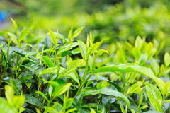 Green Tea. Leaves background in the garden stock images