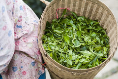 Green tea leaves in a basket. Harvester carry the basket of green tea leaves royalty free stock image