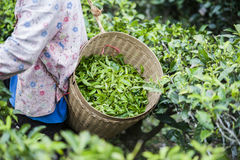 Green tea leaves in a basket. Harvester carry the basket of green tea leaves stock photography