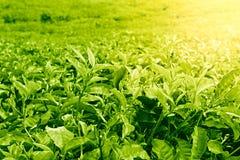 Green tea leaves Royalty Free Stock Photos