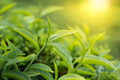 Green tea leaves Royalty Free Stock Images