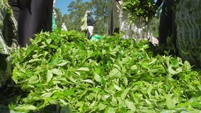 Green tea leaves fall and plantation workers pack large bags