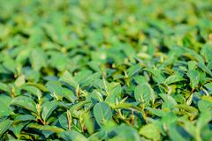 Green tea leaves in field; selective focus with blur foreground Royalty Free Stock Photos
