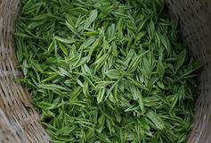 Green tea leaves. Freshly picked green tea leaves Stock Photo
