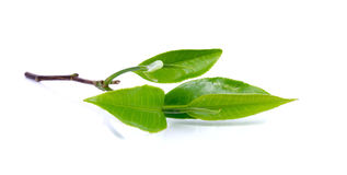 Green tea leaves isolated on the white background Stock Images