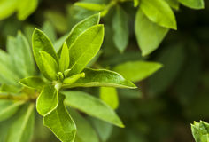 Green tea leaves. Macro focus image of green tea leaves Stock Photos