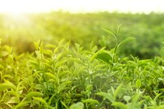 Green tea leaves in morning sunlight. Close up fresh green tea leaves in a tea plantation royalty free stock photo
