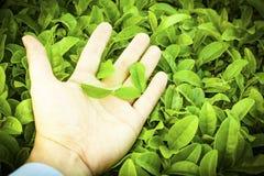 Herb, green tea, background, landscape. Green tea leaves on palm over tea field background Stock Image