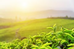 Green tea leaves at tea plantation in rays of sunset. Closeup view of scenic young upper fresh bright green tea leaves at tea plantation in rays of sunset stock image