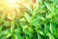 Green tea leaves ripening on a bush Stock Photography