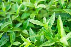 Green tea leaves ripening on a bush Stock Image