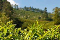 Green tea leaves on tea plantation valley background Royalty Free Stock Photo
