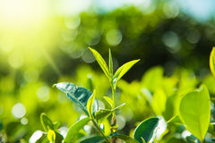 Green tea  leaves on tea plantations Stock Image